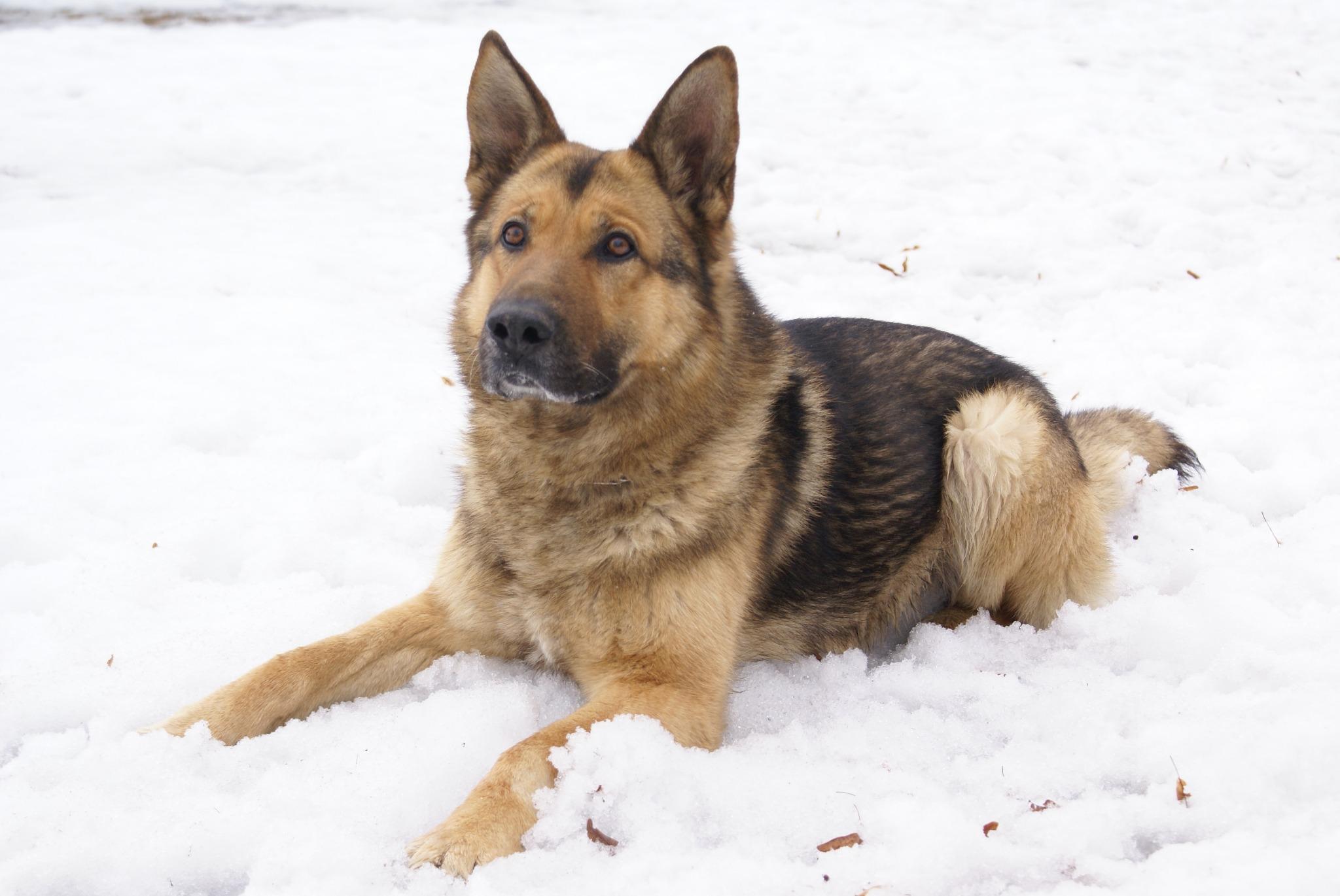 Gaviezē pazudis Robežsardzes suns Tino. Lūdzam palīdzēt. Var zvanīt pa tālruni saimniekam Andrim pa tālruni 26538510 . http://t.co/IHSq4guK