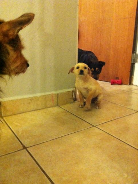 Se busca hogar urgente. Adopta a esta puppy que fue abandonada. Es una chulería, juguetona y changuita. [please RT] http://t.co/bt8JHmLk