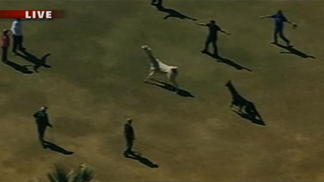 WATCH: Llama chase in Arizona -- potential spit-and-run