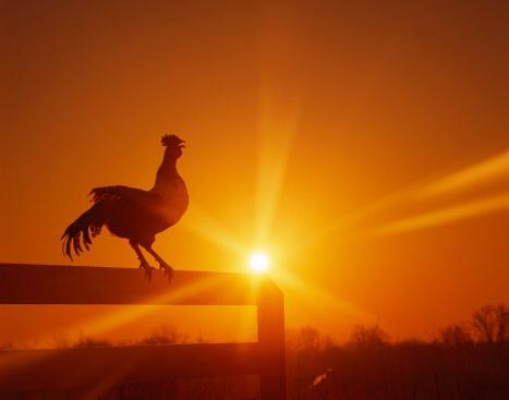 Resultado de imagen para gallo sol