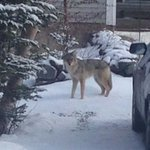 Notice to our residents: there has been a coyote sighting in the area of Anchorage Road. http://t.co/wPzUa9exNu http://t.co/1h5BssTS2A