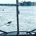 Coast Guard spots coyote running across frozen bay @USCGNortheast http://t.co/LFiRY57qEq http://t.co/jG4JSZkOEP