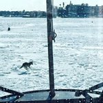 How bad is this #Boston winter? The @USCGNortheast spotted a COYOTE running across #BostonHarbor http://t.co/y2VOURjXNo