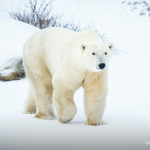 RT @googlemaps: You know what they say: when in Manitoba, do as the @PolarBears do. #PolarBearDay http://t.co/sEhfTqnTyy