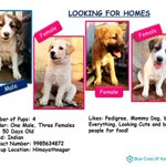 RT @IndianBreedDogs: Pls RT.Indian Breed of Puppies adoption alert in Hyderabad& free of cost. @priyamani6 @DhanShikaa20 @akshapardasany ht…