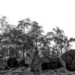 """""""The timber mafia is winning this war"""" - the illicit rosewood logging in southeast Asia  http://t.co/oSFEfuP22N http://t.co/h330uXaExf"""