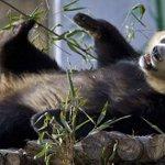 China: Crece la población de pandas gigantes en libertad http://t.co/ZftK9ki5wx http://t.co/uTGYdMJOx2
