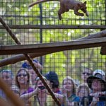Happy Leap Year from our Malagasy fossa as she leaps through the air for visitors! Leap in to see her today! #naples http://t.co/sPP9C1AmHU