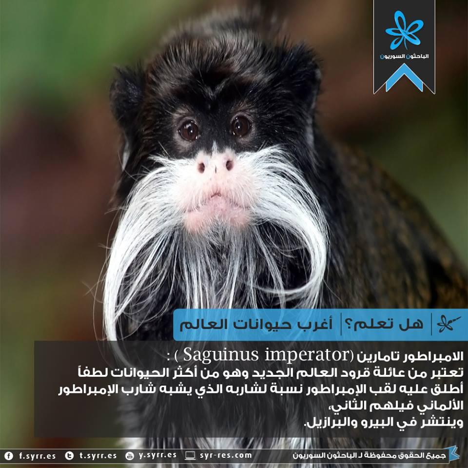 #هل_تعلم أغرب حيوانات العالم-الإمبراطور تامارين! http://t.co/rJiHmtdKz5