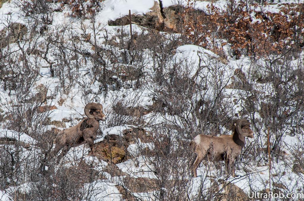Bighorn sheep rams in Garden of the Gods today #wildlife #COSprings #gotg http://t.co/Va3dAVx5fx