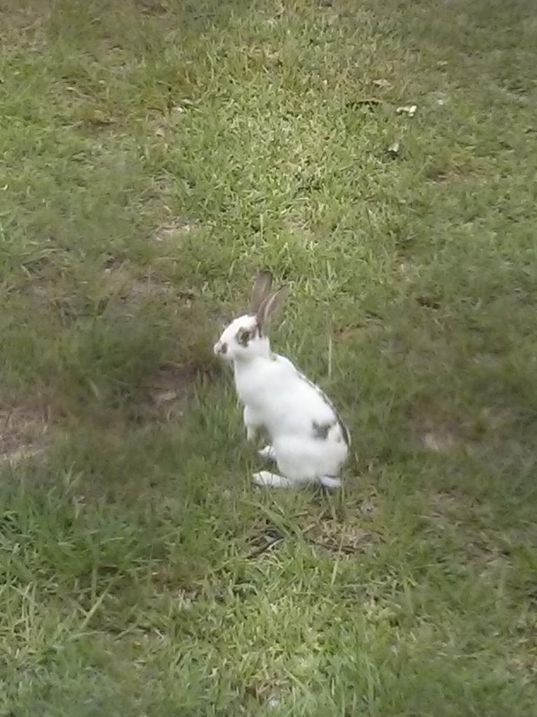 This adorable wild (escaped?) bunneh has been mowing our back lawn! http://t.co/t0ymxgywtK