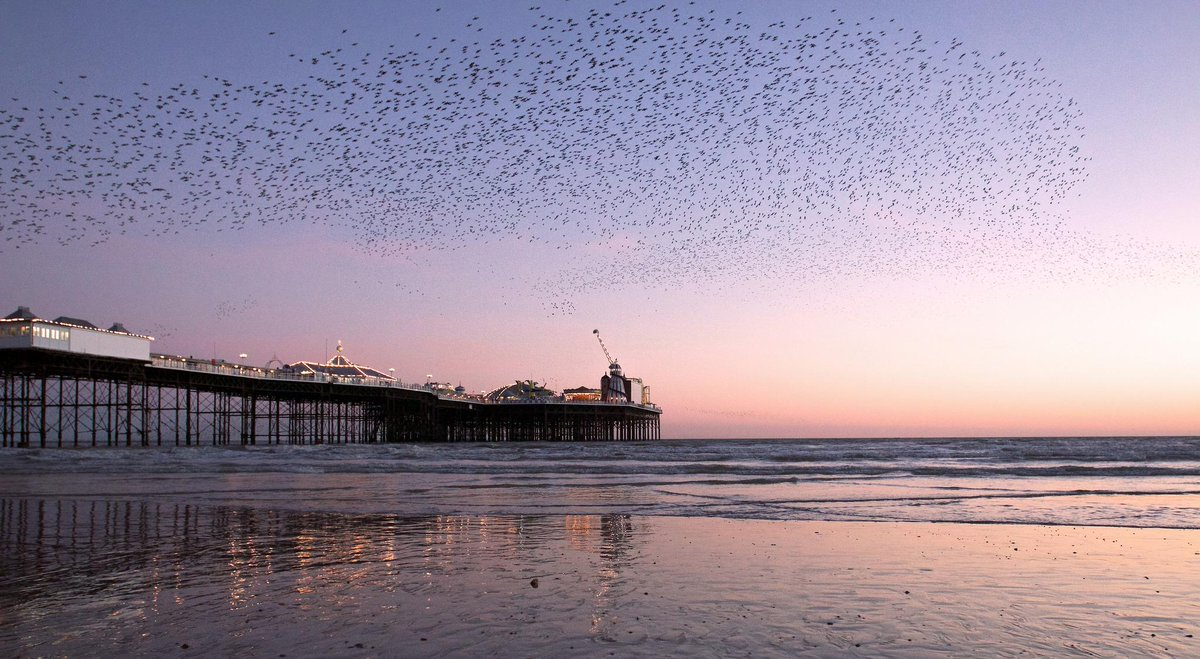 Tonight's Starling murmuration in Brighton combined nicely with a clear sky, a low tide and sunset. http://t.co/ZHIpIijA6v