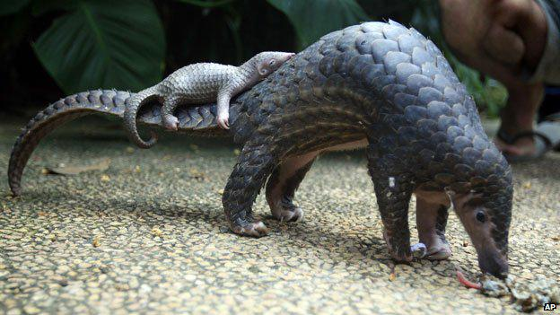 It's #WorldPangolinDay. Why you should care: http://t.co/TQliDTFgPu Photo: AP http://t.co/EiN6vvQOh2