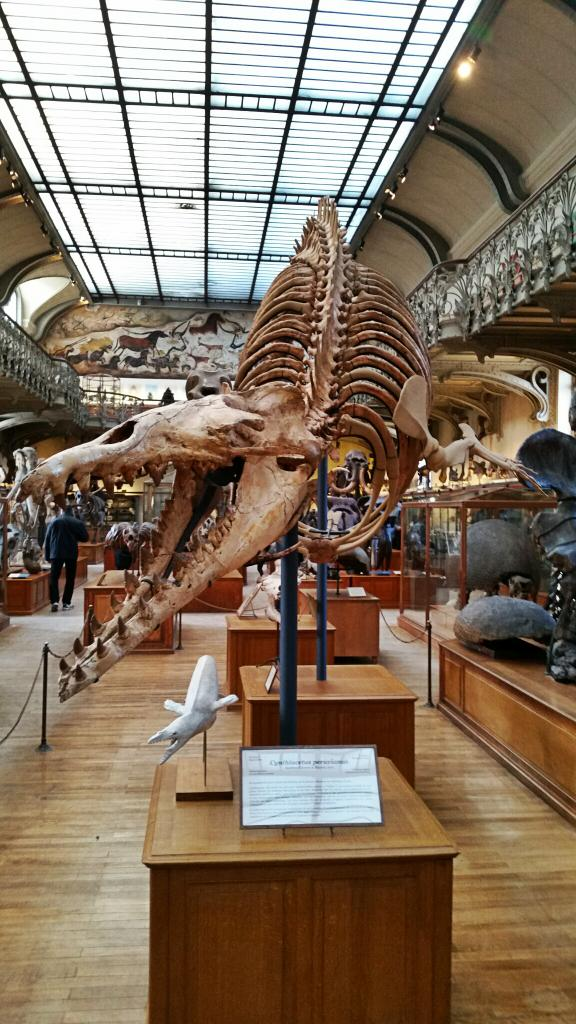 Fantastic fossil whale, Cynthiacetus, on display in Paris #FossilFriday http://t.co/gvI6mrDG1R