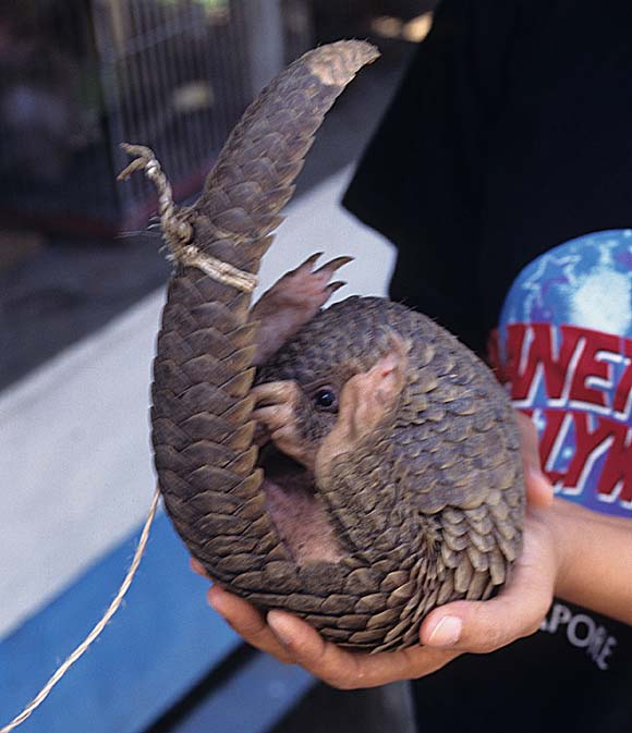 It's #WorldPangolinDay read about TRAFFIC's work on these remarkable toothless anteaters http://t.co/s1oCkyP5Ti http://t.co/hSvhd1bYUJ