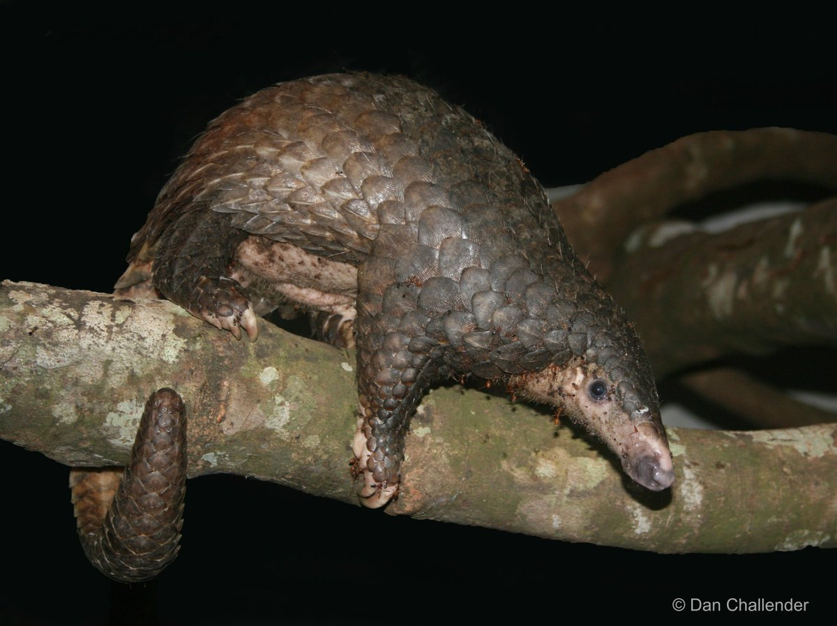 Happy #WorldPangolinDay! #Pangolin conservationists face many challenges: http://t.co/bmjC7XtKEg @PangolinSG http://t.co/y6FA1KqZio
