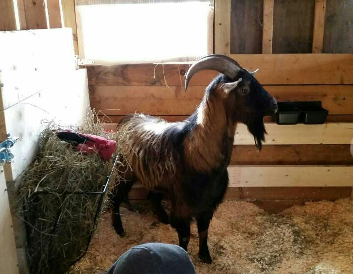 The Lowell goat has been moved to his new permanent home. A sanctuary in Central Massachusetts http://t.co/Jc5KO8fu2W