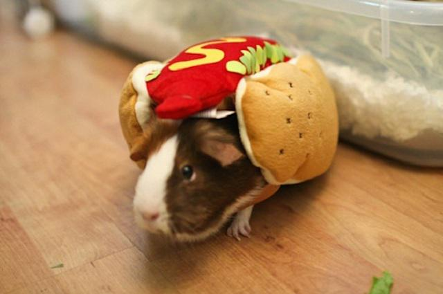 18 Adorable guinea pigs who absolutely hate what they're wearing http://t.co/lgqOSIlwnT http://t.co/NUuoTqcI2j