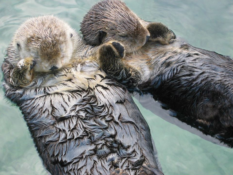 Sea otters hold hands while sleeping so they don't drift away from each other. http://t.co/DdjEu4UuEF