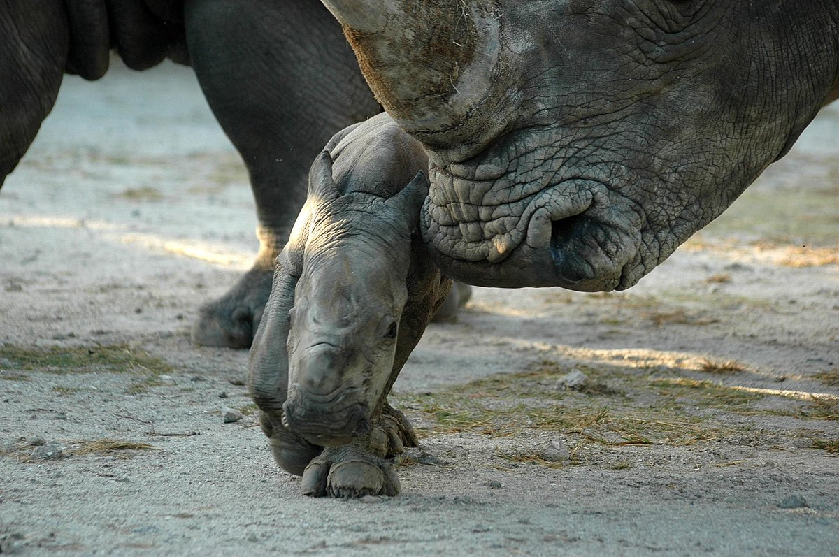 Retweet if you love #rhinos! http://t.co/vRiHHspAlb