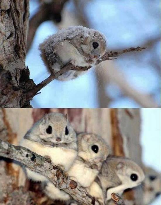 This is what Japanese dwarf flying squirrels look like http://t.co/o70j4kihW9