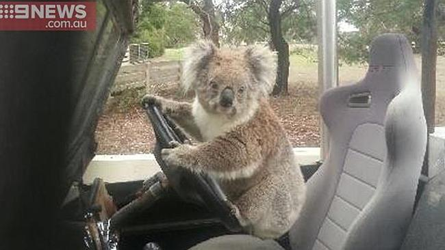 Koala caught trying to steal a car: http://t.co/LwiL5Hb0hh #OnlyInAustralia #Straya http://t.co/lR7jVcSI1O