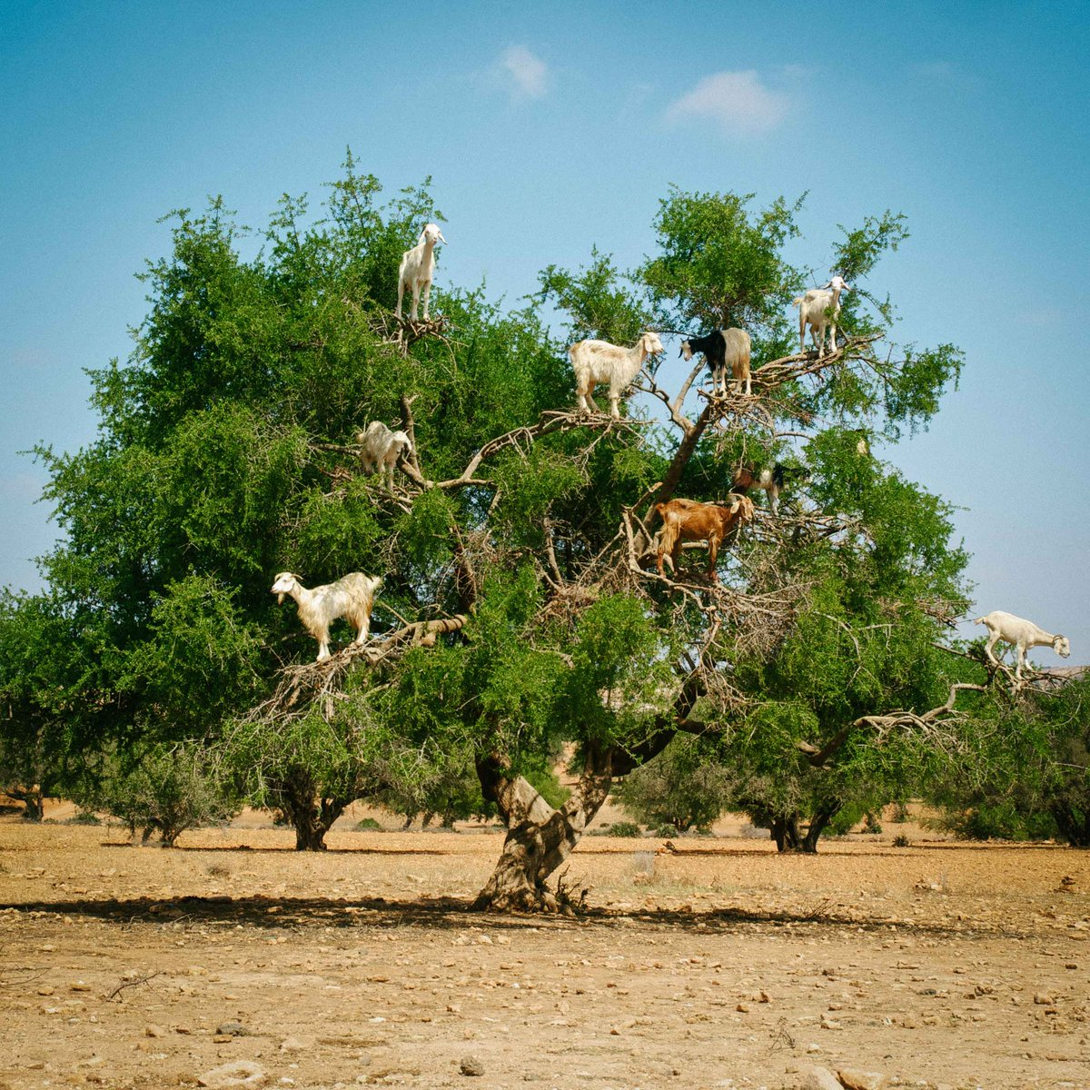 Meanwhile in Morocco. #goatsintrees http://t.co/B4YdQiXp2R