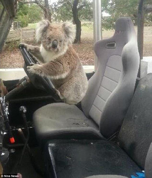 "Haha! Too cute! 🐨 ""@DailyMailAU: This koala is Australia's cutest attempted carjacker"