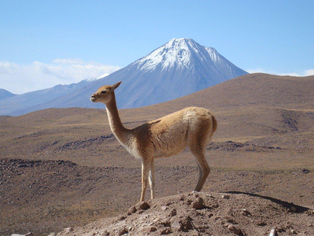 ALMA観測所に暮らすなかまはきれいな毛並みをしています。ビクーニャといい、ラクダの一種です。後ろに見えるのは「チリ富士」ことリカンカブール山(5920 m)。 http://t.co/rrZ8BgULAx