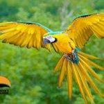 RT @SafaricksZoo Guacamayo Azul y Amarillo #Panama http://t.co/BnRPFVNYvu http://t.co/eurHd3vJho