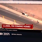 Llama drama!! CBS News is carrying a live online stream of a llama chase in Arizona #journalismwin @JournalistsLike http://t.co/T9kDkaiv54