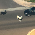 These Llamas are the Romeo and Juliet of our generation http://t.co/2ruIAfxpm9