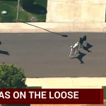 Eat your lunch, Tina!!! RT @CBSNews: WATCH LIVE: Llamas on the loose in Arizona http://t.co/z09DZSX8eI http://t.co/GWfyMn57Vt