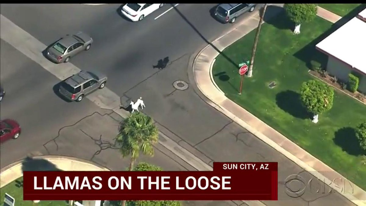 Cars & llamas! @CBSNLive: WATCH: Unfolding llama drama! Llamas go rogue in Sun City, Arizona http://t.co/UV7cHtWY5I http://t.co/P0ms7tLE7W