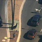 LLAMA WATCH: Traffic stopped in the area. Everyone chasing after these llamas! WATCH LIVE: http://t.co/wsQoRGGcfI http://t.co/U4qBlZyzY1