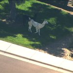 LLAMA WATCH: The llamas appear to be taking a short break under a tree. Today's high in Phoenix: 72 degrees. #abc15 http://t.co/kmt6olCMSE