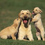 RT @NYDailyNews: Top dog! The Labrador retriever was the country's most popular dog breed in 2014. http://t.co/ngJvx4UimL