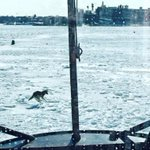 Go home winter, youre drunk. Coyotes now prowling the ice in front of @USCGNortheast cutters https://t.co/ecs0YG53Iu http://t.co/eOhxioIuxm