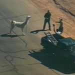 UPDATE: Both #Llamas have been lassoed and are now in custody. #llamadrama http://t.co/0oy2J57fCi