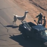 BREAKING: Both llamas are now in custody. No more #llamasontheloose http://t.co/t0qAvqxh2z