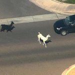Nation stops to cheer on llamas on the run from police in Arizona http://t.co/fLHyHHt75L http://t.co/AweE6jB511