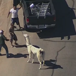 The chase is over: Llamas lassoed after llow speed chase in Sun City, Arizona http://t.co/Z4ZHBt1uFI http://t.co/9ntqycHcGO