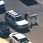 LLAMA WATCH: It appears the llama is a big fan of #ABC15! Good choice my friend! GOOD CHOICE! http://t.co/wsQoRGGcfI http://t.co/NfN5s1ejUW