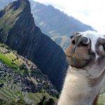 First, llama take a selfie. http://t.co/X9MUYZZCS5