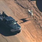 A couple of days after we leave Phoenix, Llamas run amok around the city. Coincidence? I think not. http://t.co/3GITwtMrIR