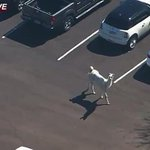 America was glued to TV screens as two llamas go on the run from an Arizona wildlife park: http://t.co/xcQcGCBFSS http://t.co/GIsvUrHABi