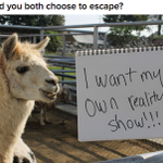 EXCLUSIVE: White Llama Speaks Out About His Amazing Escape http://t.co/RJ9Ebe3QPL http://t.co/DXAa04WU5t