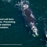RT @BostonGlobe: Preventing the deaths of just two female right whales a year could stabilize the population. http://t.co/amhKtCddIj http://t.co/vwS0wEIGTQ