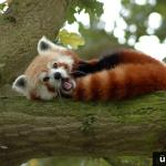 RT @UberFacts: Red pandas use their bushy tails as blankets to keep themselves warm.
