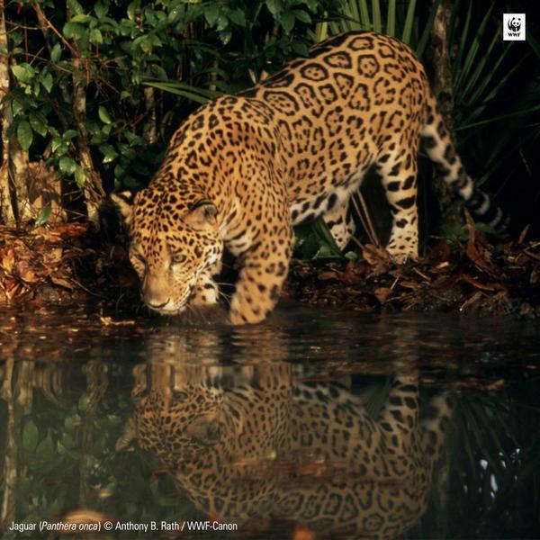#TodosAmamos a los grandes gatos, pero la pérdida de hábitat y la caza los esta diezmando. Recuerda: no son mascotas http://t.co/CJsfLUPtty